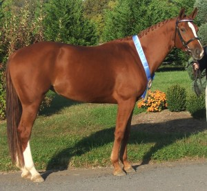 Leeandra, winning the October 2009 Hanoverian Mare Performance Test