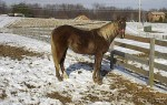 Mountain Brown Sugar - Rocky Mountain mare